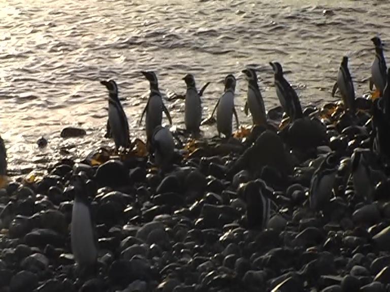 pinguino magellano